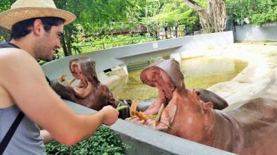 Hippo faminto